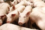 Поросята со свинокомплекса