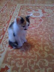 очаровательную трехцветную кошечку