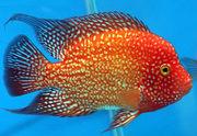 аквариумные рыбки цихлиды,  продаю мальков  и подростков цихлид